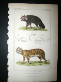Cuvier C1835 Antique Hand Col Print. Brown Hyaena, Royal Tiger, 30